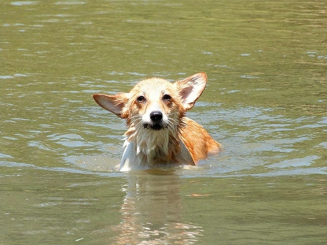 Is Your Dog Drinking Chlorine Water from the Pool?