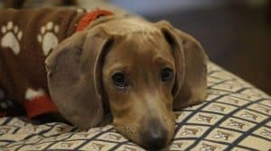 IVDD in Dogs Symptoms