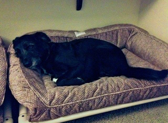 black dog lying on dog bed