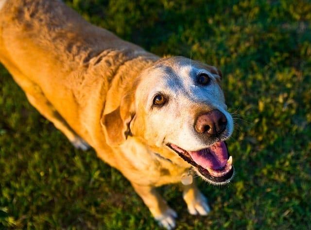 Labrador dog pacing and panting, senior dog panting at night