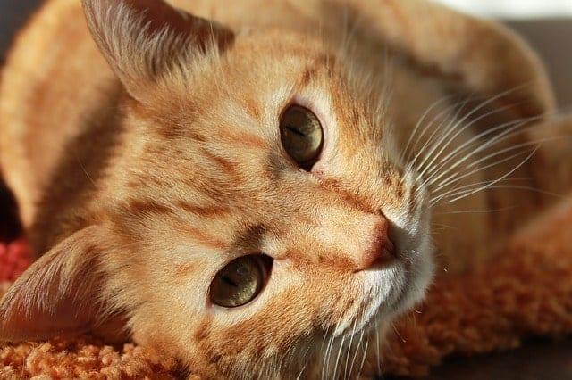 cat bladder inflammation
