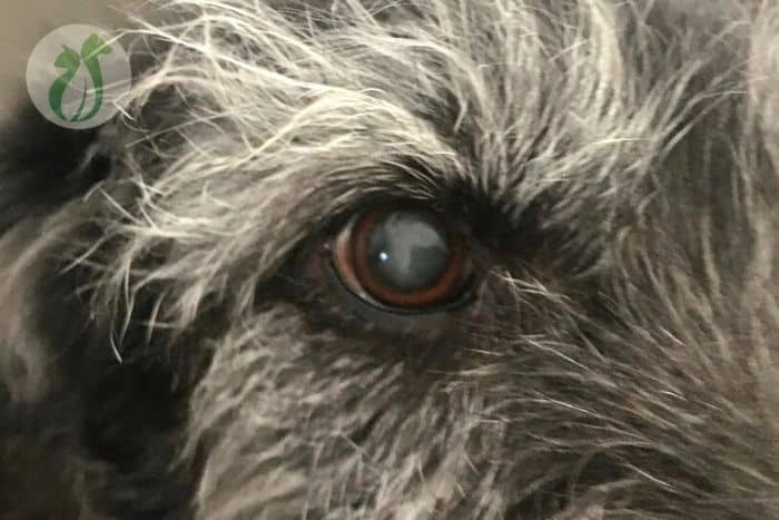 lenticular sclerosis (dog's eyes are cloudy)