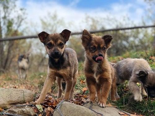 3 shepherd mix puppies