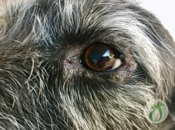 Dog's eyelid is swollen