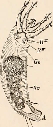 illustration of a Demodex mite