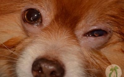 My Dog's Eyelid Is Swollen–How Can I Help?