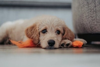 19 Vet Tricks to Make a Puppy Gain Weight Fast