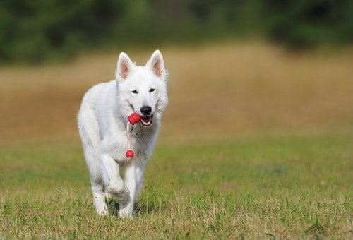 white German Shepherd dog carrying a toy in a grassy yard