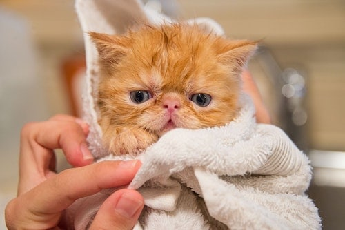 bathing for cat dandruff greasy fur and mats