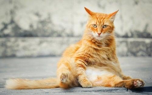 orange cat sitting with rear legs forward