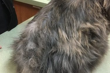 How to Fix Cat Dandruff, Greasy Fur and Mats