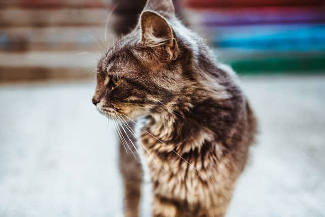 cat dandruff greasy fur and mats