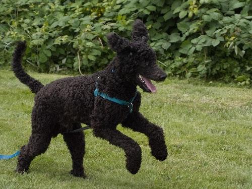 black standard poodle running in grass