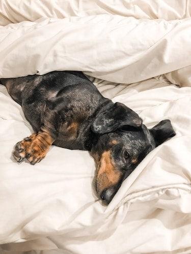 Dappled mini Dachshund lying on a bed