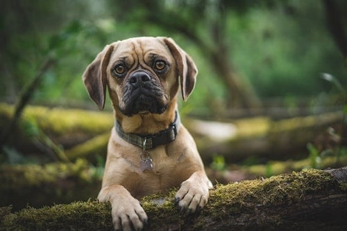 Puggle dog (early stage mange in dogs)