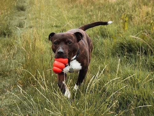 Staffordshire terrier in a field