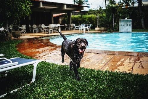 dog near swimming pool