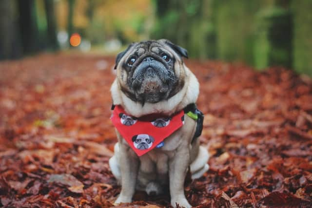 Older pug dog wearing a bandana sitting on a trail outdoors