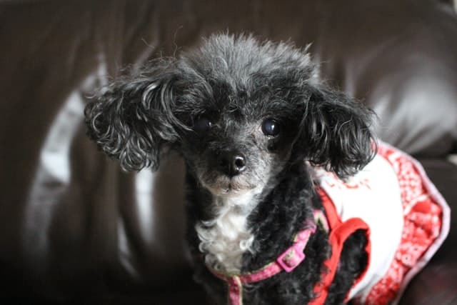 senior black and white miniature poodle wearing a harness and a red and white dress