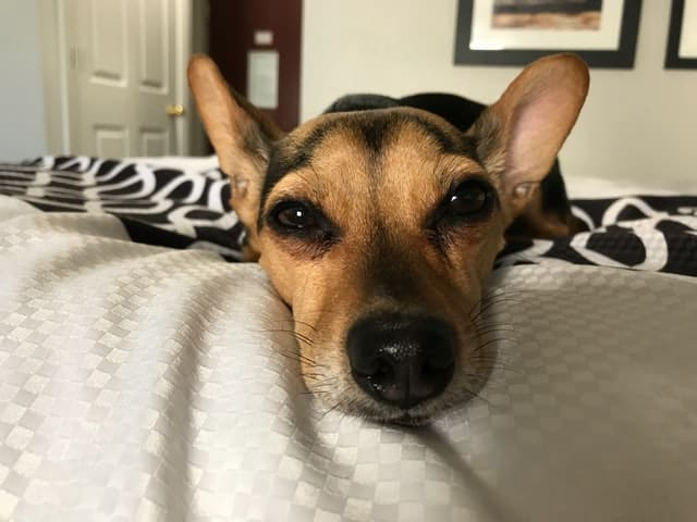 Shepherd mix dog lying on a bed