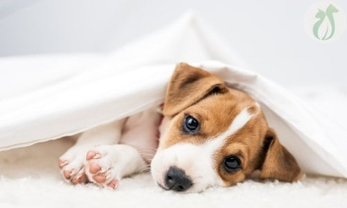 brown and white puppy lying covered with a sheet