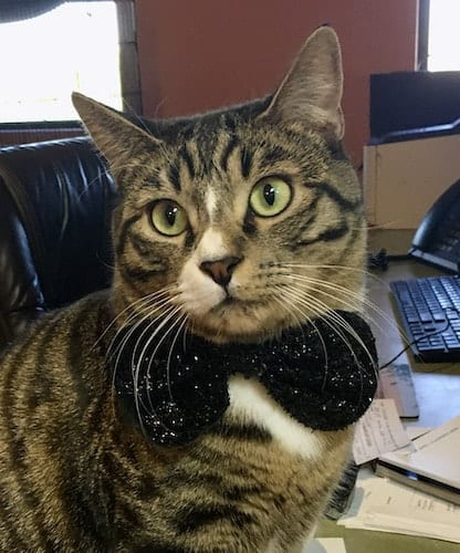 Tabby cat with black bow tie