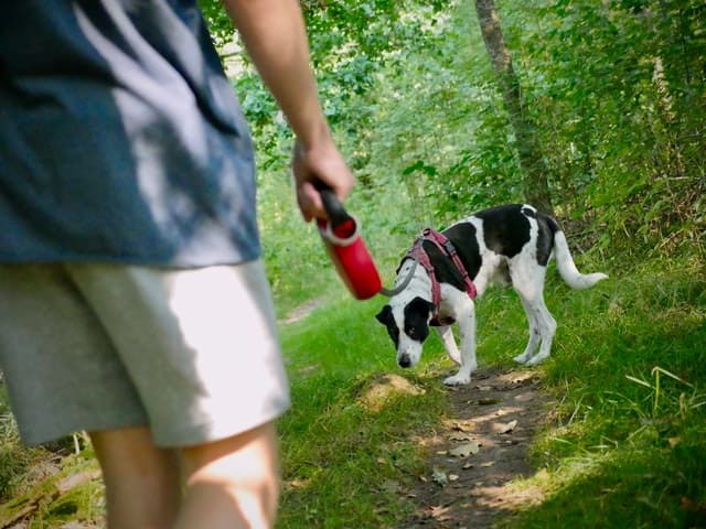 black and white dog walking on a leash in the woods