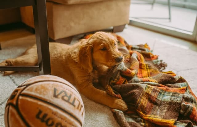 Golden Retriever puppy chewing on a blanket