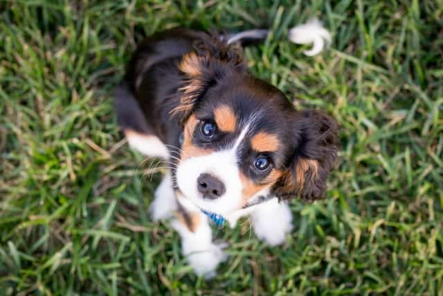 CKCS puppy