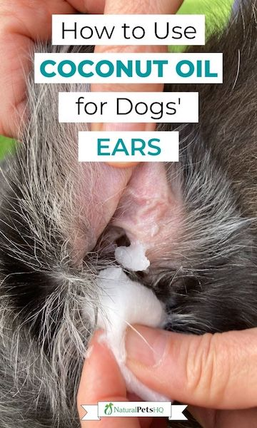 How to use coconut oil for dogs' ears.
