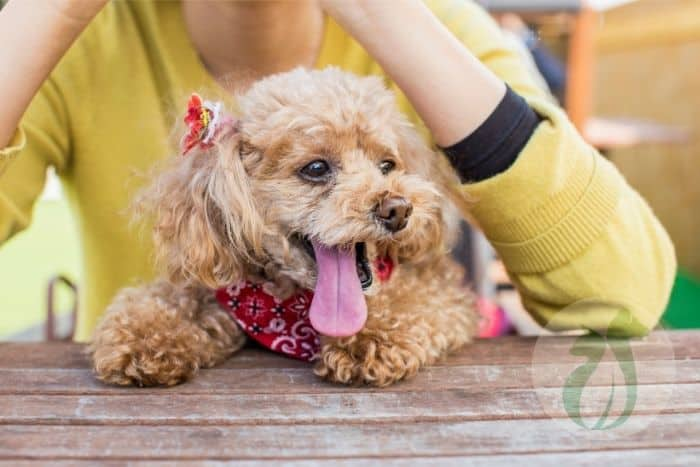 Apricot toy poodle with tongue hanging out.