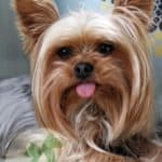 My Little Dog Has Tracheal Collapse–Should I Euthanize Her?