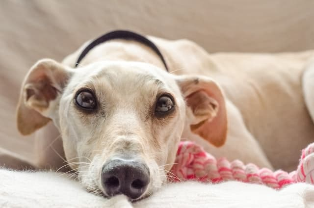 Is turmeric good for dogs? This greyhound thinks so.