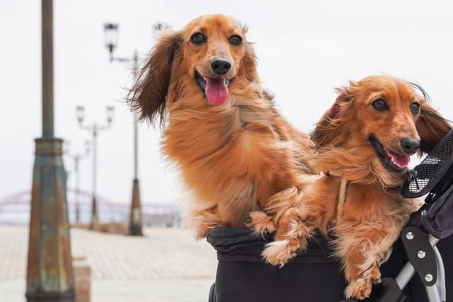 two long-haired Dachshunds riding in a stroller