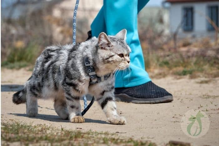 tabby cat walking on a leash