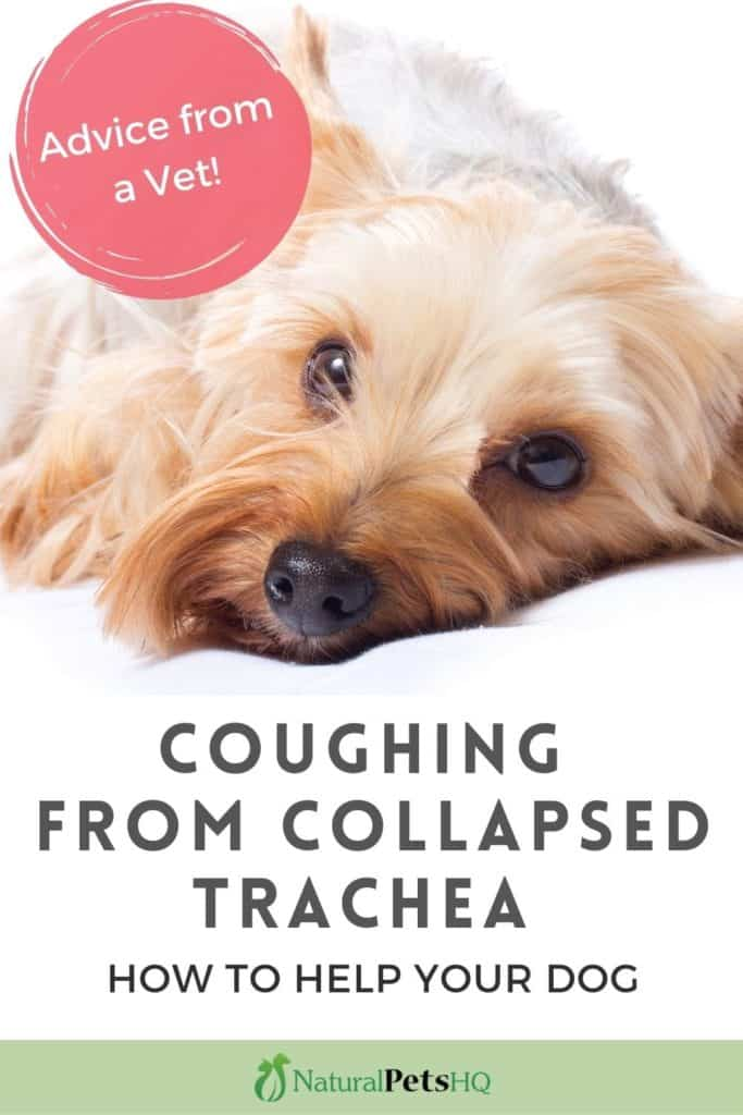 dog is coughing from collapsed trachea