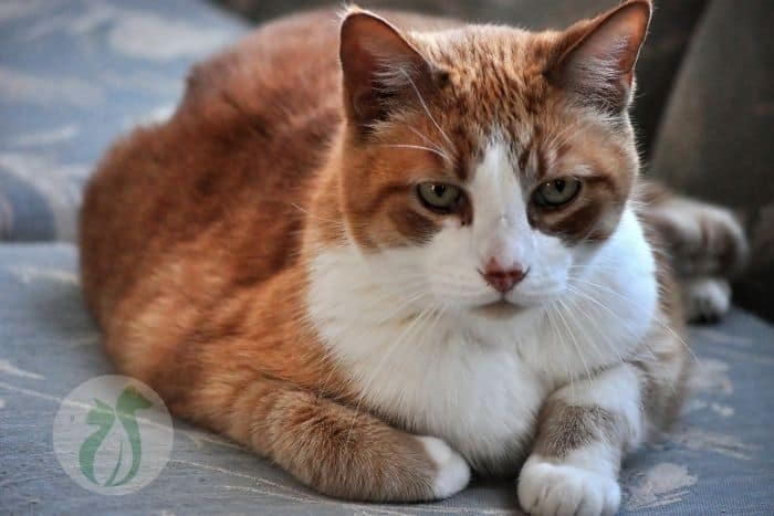 orange and white senior cat