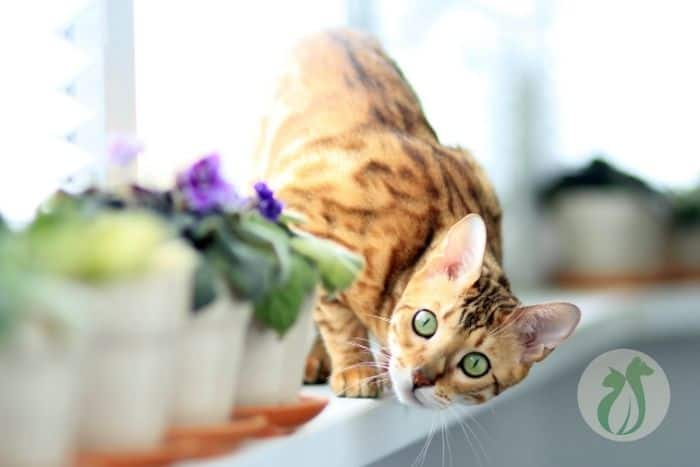 Bengal cat standing on a shelf behind potted plants