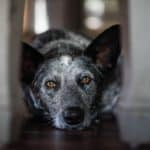How to Decide When to Euthanize a Dog with Liver Failure