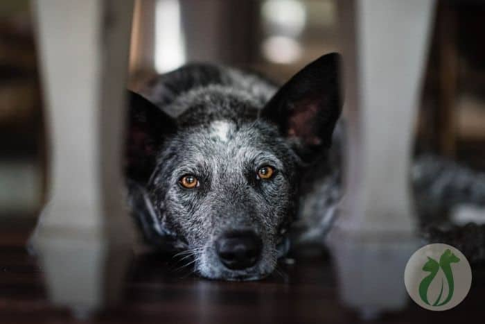 when to euthanize a dog with liver failure (Australian Cattle Dog)