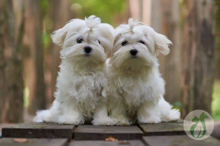 two Maltese dogs which are more likely to be born with a portosystemic shunt