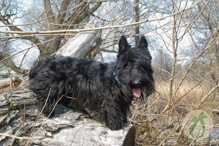 Scotties are prone to liver disease (when to euthanize a dog with liver failure)