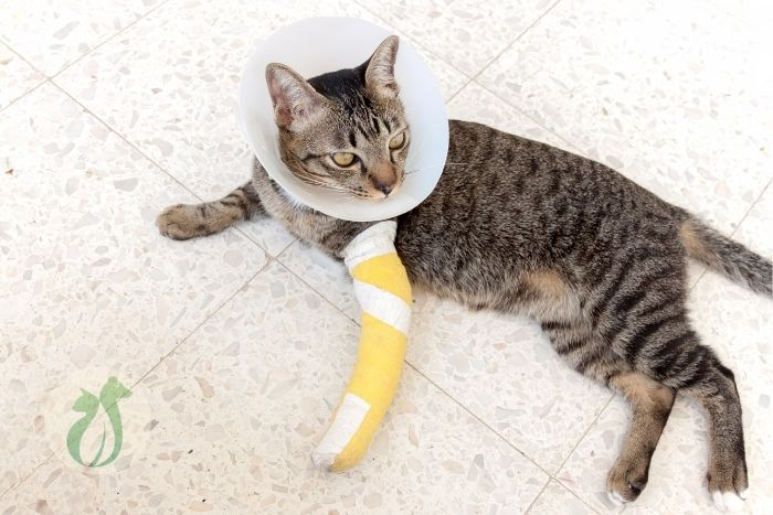 Young tabby cat with bandaged front leg and wearing an e-collar