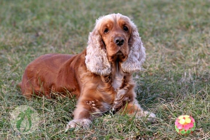 cocker spaniel lying in grass with a ball