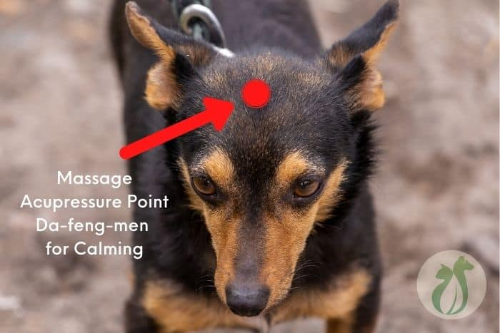 Da-feng-men acupressure point on dog's head for calming (for when your dog is acting weird after anesthesia)