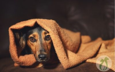 Ask a Vet: Why Is My Dog Acting Weird After Anesthesia?
