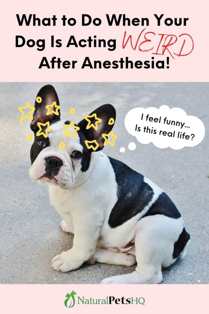 Pinterest graphic (dog is acting weird after anesthesia)
