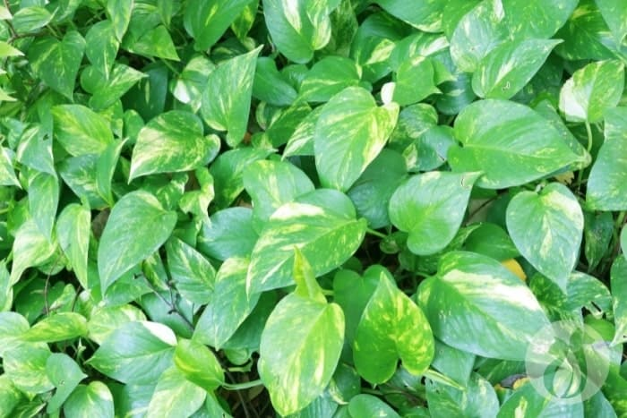 Chewing Pothos can cause a cat's lips to swell