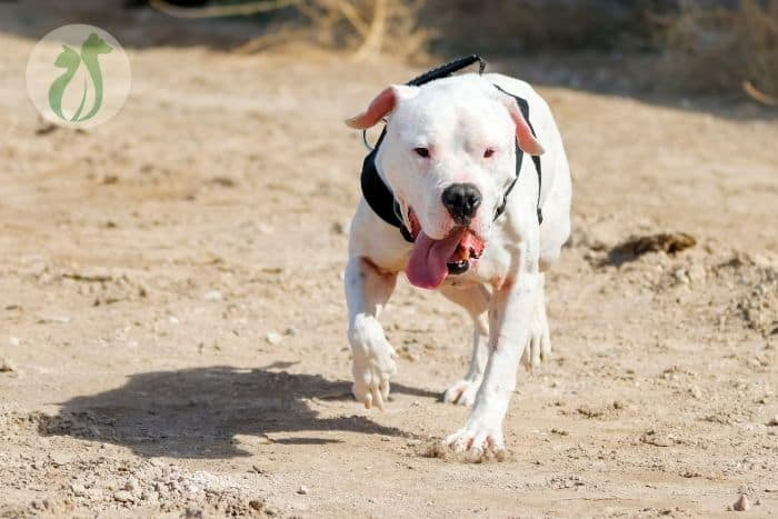 how long can a dog go without water? white dog running in the desert