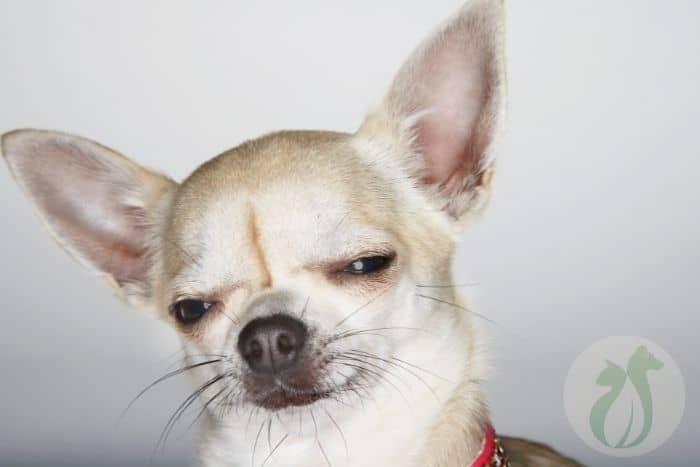 Tan Chihuahua thinking about homemade dog food for small dogs